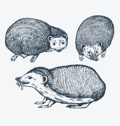 hedgehog set spiny forest animal engraved vector image