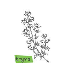 Thyme hand drawn vector