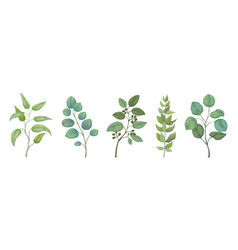 eucalyptus plants rustic foliage branches vector image