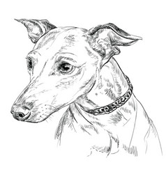 Italian greyhound hand drawing portrait vector