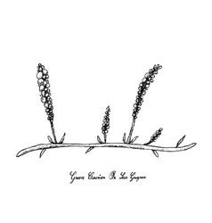 hand drawn of sea grape seaweed on white backgroun vector image