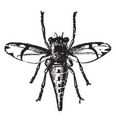 Female horse fly estrus equi vintage vector