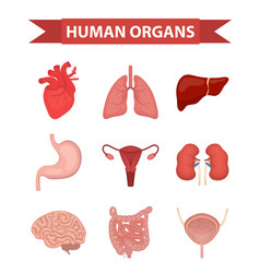 internal organs human icons set flat style vector image