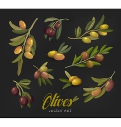 Set of olive branches or tree twigs berries vector image vector image