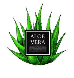 Aloe vera with frame hand vector