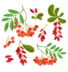 Branch of ashberries and barberries isolated on vector
