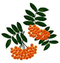 Mountain ash branches set isolated on white vector