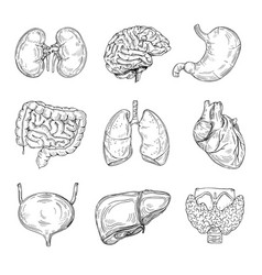 human inner organs hand drawn brain heart and vector image