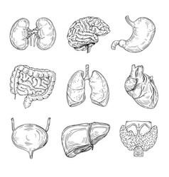 Human inner organs hand drawn brain heart vector