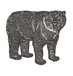 Spectacled bear hand drawing vintage engraving vector