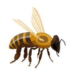 Flying realistic honey bee close-up hand drawn vector