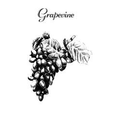 ink hand drawn vintage grapevine vintage fruit vector image vector image