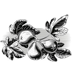 Branch with three ripe figs vector