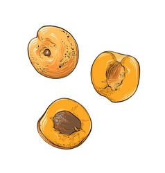 Hand drawn sketch apricot in color isolated vector