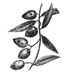 Olives attacked by dacus oleae vintage vector