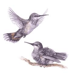 watercolor hummingbirds vector image