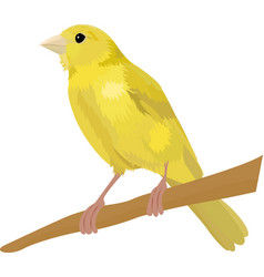 canary bird isolated on white vector image vector image