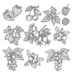 Sketches of garden and wild berries vector