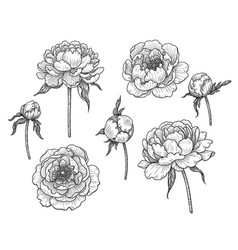 Hand drawn monochrome peony flowers and buds vector