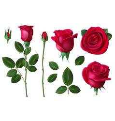 Realistic rose dog-rose flower blossom petals and vector