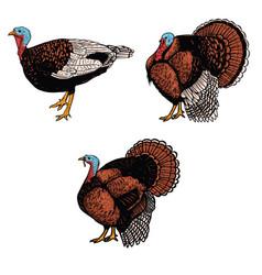 set of turkey isolated on white background design vector image vector image