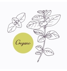Hand drawn oregano branch with leves isolated on vector image