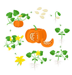 Pumpkin plant growth stages infographic elements vector