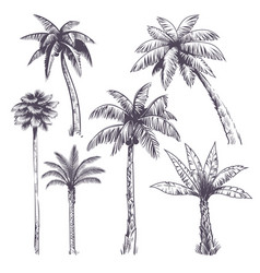 Sketch palm tree hand drawn tropical coconut vector