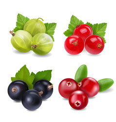 cranberry red currants gooseberry vector image vector image