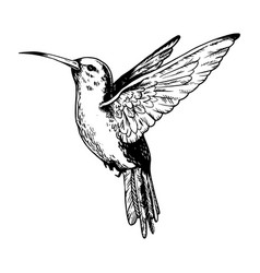 Humming bird engraving vector