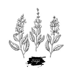 sage drawing set isolated plant with vector image