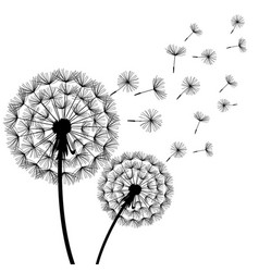Dandelion blowing black white vector