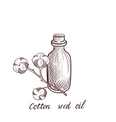 Drawing cotton seed oil vector