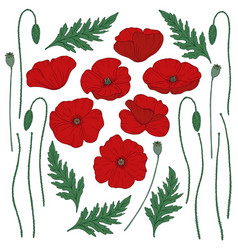 red poppy flowers papaver green stems and leaves vector image