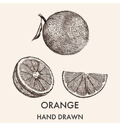 Sketch of whole orange half and segment Hand drawn vector image