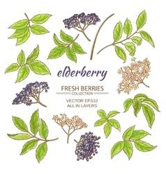 elderberry set vector image vector image