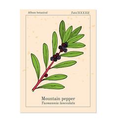 Mountain pepper tasmannia lanceolata vector
