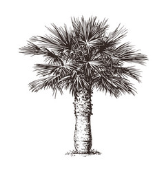 Palm tree on white background hand drawn sketch vector