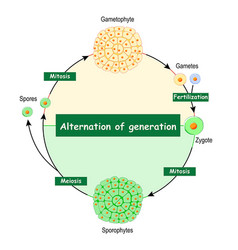 Difference between gametophytes and sporophytes vector