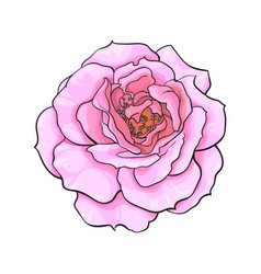 pink rose flower fully open realistic hand drawn vector image