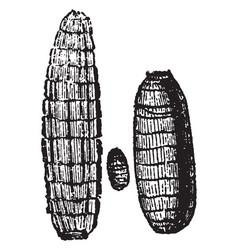 Larvae of dacus oleae vintage vector