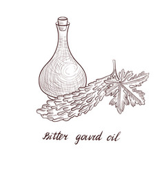 Drawing bitter gourd oil vector
