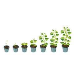 Cucumber plants in pot cucumber growth stages vector