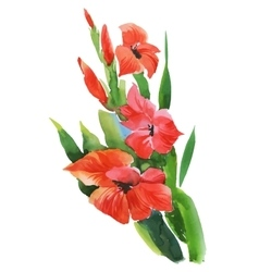 Watercolor garden gladiolus flowers on white vector image