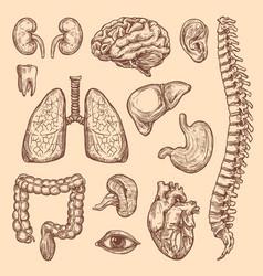 human organs sketch body anatomy icons vector image vector image