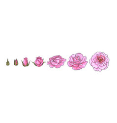 pink rose blooming from closed bud to fully open vector image