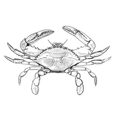 Blue crab vintage vector