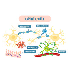 nervous system glial cells schematic diagram vector image vector image