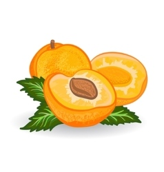 Apricot painting on white background vector