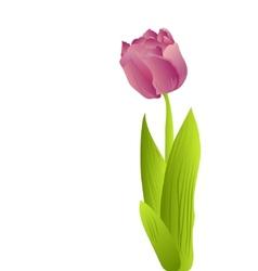 purple tulip vector image